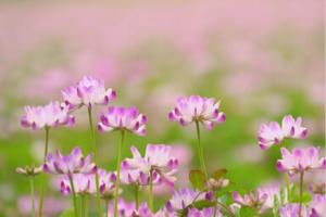 れんげの花